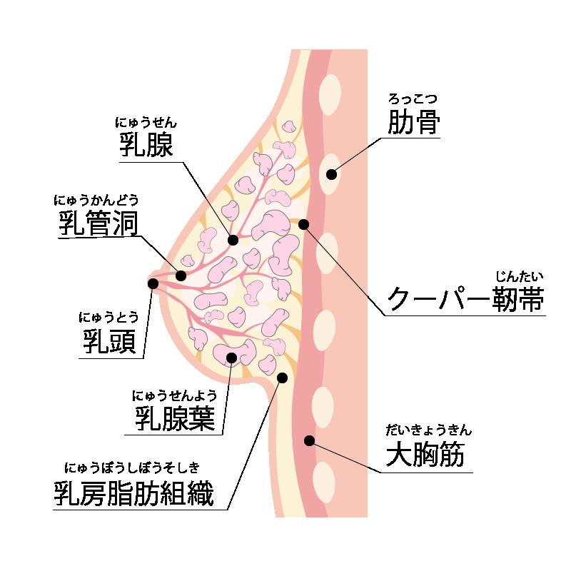 乳房の予防切除