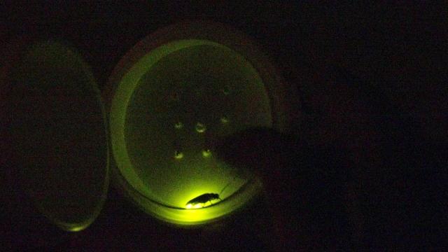 嗅覚神経だけが光るように遺伝子を作り変えたハエ