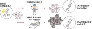 BRCA遺伝子に病的な差異があると、正常に働かなくなります。