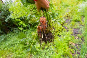 地面の下で育つ食材は根菜です。 冬になると根菜が美味しいですが、根菜をたくさん食べてポカポカになりましょう。